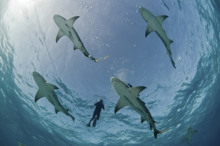 water's: Underneath view of diver surrounded by lemon sharks at the waters surface, Bahamas Stock Photo