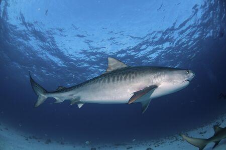 sea bed: Side view of a Tiger shark swimming along the sea bed, Bahamas Stock Photo