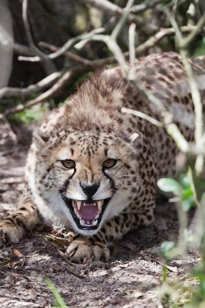 chita: Cheetah la protección de su terreno en una reserva de caza, África del Sur
