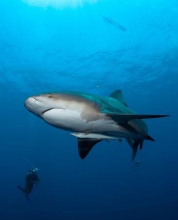 Divers watching bull shark at Pinnacles, Mozambique photo