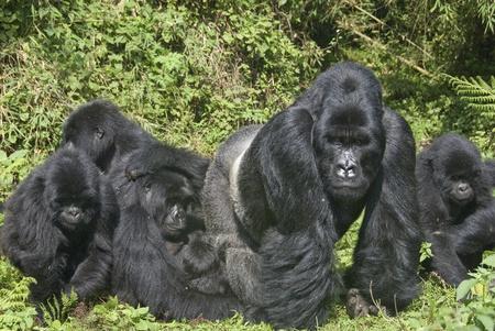 Grupo de gorilas de comer, Ruanda