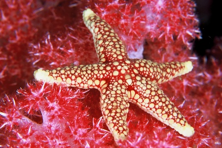 underwater ocean: A close up of a starfish lying on seagrass, South Africa