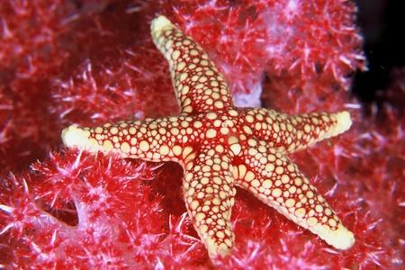 Una stretta di una stella di mare disteso sul alghe, South Africa