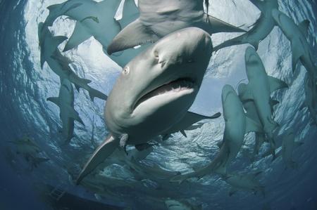 animal behavior: A lemon shark swimming towards the camera, Bahamas