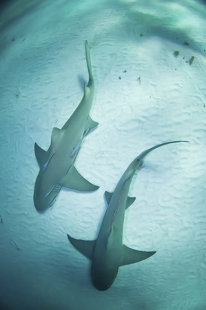 Two sharks swimming together along the sea bed, Bahamas Stock Photo - 10625694