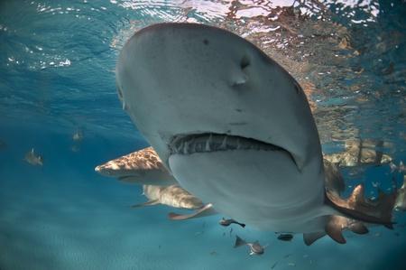 shallow water: Close up on a lemon shark in shallow water, Bahamas Stock Photo