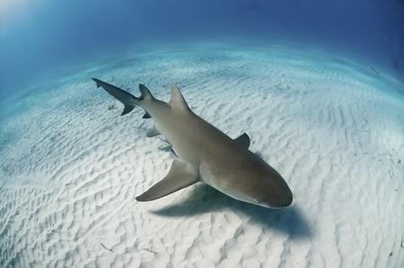 sea bed: The topview of a lemon shark swimming along the sea bed, Bahamas Stock Photo