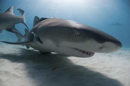 sea bed: A lemon shark swimming along the sea bed, Bahamas Stock Photo