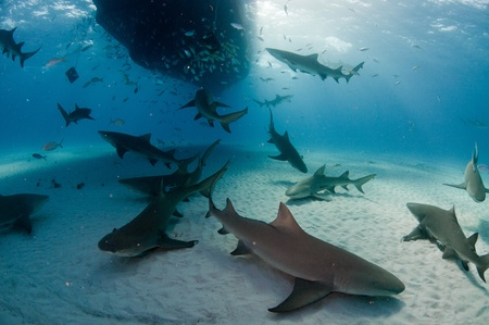 underneath: A large group of lemon sharks underneath a dive boat, Bahamas