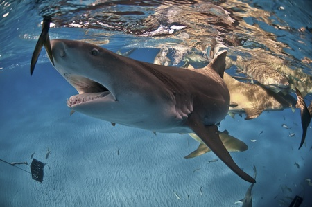 A lemon shark reaching for food, Bahamas Stock Photo - 10626960