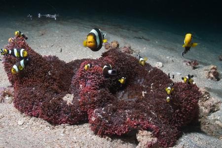 symbiotic: Cuttlefish swimming along a carpet anemone, Bangka, Indonesia