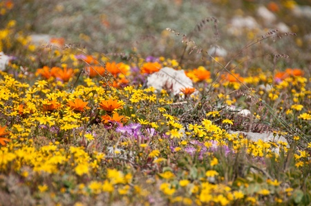 Colorful flower growing in a field, South Africa photo