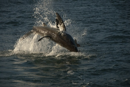 breaching: A shark breaching for its prey, South Africa