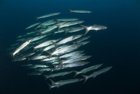 school of fish: A school of Barracuda making their way through the ocean, Egypt