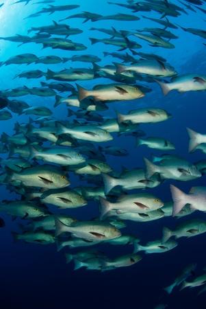 school of fish: A school of  snapper fish exploring the ocean, Egypt Stock Photo