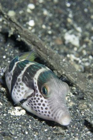 Saddled toby pufferfish lying on the sea bed, Sulawesi, Indonesia photo
