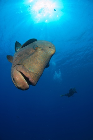 cheilinus undulatus: Napoleon Wrasse swimming around, Red Sea, Egypt