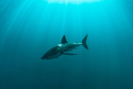 Great white shark underwater, Gansbaai, Western Cape, south Africa Stock Photo - 10667769