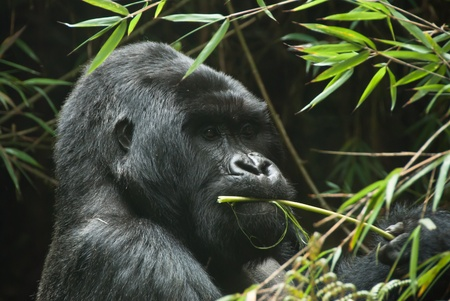 A gorilla eating plants in the forest, Rwanda Stock Photo