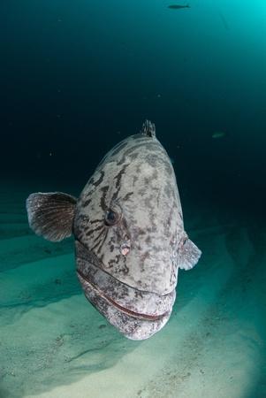 epinephelus: Potato bass swimming along the sea bed, South africa