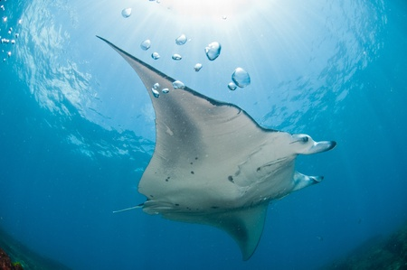 underbelly: A mantary swimming along a reef, Zavora, Mozambique Stock Photo
