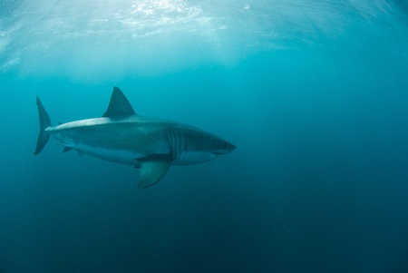 sharks: Great white shark underwater, Gansbaai, Western Cape, south Africa