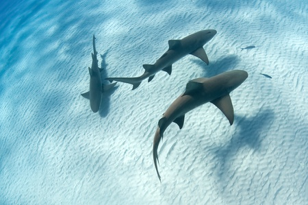 sharks: Sharks swimming along the sea bed, Bahamas Stock Photo