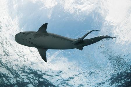 underbelly: UNDERVIEW di uno squalo tigre nuotare in acque limpide, Bahamas