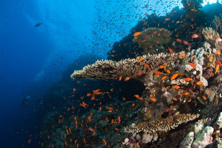 A close up on a coral reef with colorful fish swimming around, Red sea, Egypt