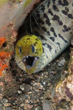 sulawesi: A spot face moray eel protecting its ground, Sulawesi, Indonesia