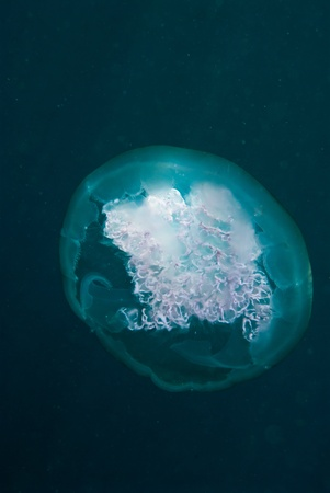 blubber: A close up on a jellyfish, Sulawesi, Indonesia Stock Photo