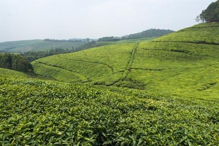 rwanda: The view of a tea plantation over the hills, Rwanda