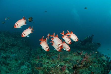school of fish: A school of blotheye soldier fish swimming along a reef, Sodwana Bay, South Africa