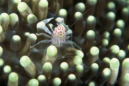 inbetween: A close up on a pinhead crab inbetween anemone tentacles, Kwazulu Natal, South Africa Stock Photo