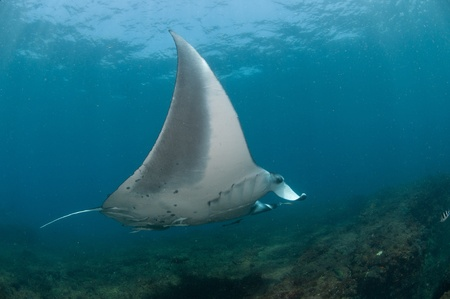 underbelly: A close up on a Mantaray swimming along a reef, Mozambique