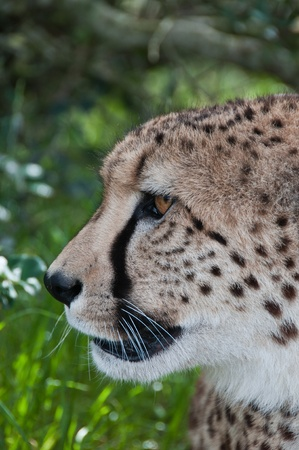 A close up on a cheetahs head from the side, Western Cape, South Africa photo