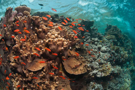A school of fairybasslets swimming around a sunlit reef, Red sea, Egypt photo