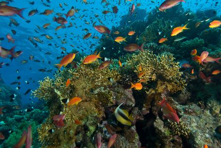 softcoral: The view of different colorful fish in a reef scene, Red Sea, Egypt