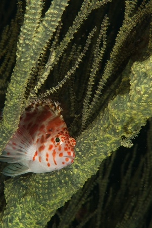 kwazulu natal: The view of a spotted hawkfish in between sea plants, KwaZulu Natal, South Africa