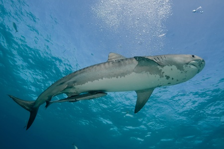 sharks: The underview of a tiger shark and suckerfish swimming together, Bahamas