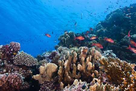 The view of a coral scene with fairey basslests swimming around, Red sea, Egypt photo
