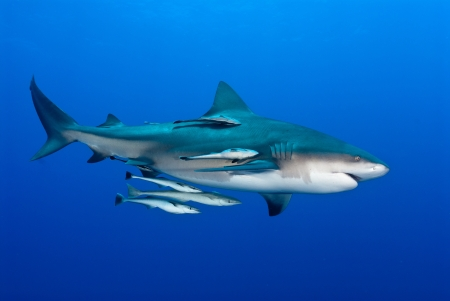 gape: The view of a bull shark and fish swimming along, Pinnacles, Mozambique