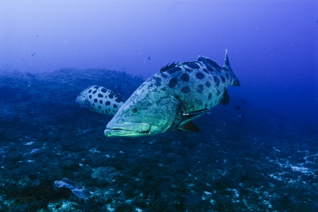 epinephelus: The view of potato bass swimming along a reef, Pinnacles, Mozambique