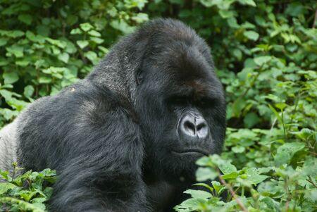 El punto de vista de un gorila moverse en el bosque, Ruanda