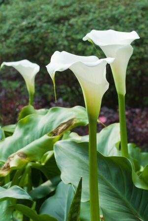 arum flower: The view of lilies in a garden, Rwanda Stock Photo