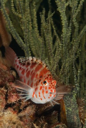 kwazulu natal: A close up on a spotted hawkfish by sea plants, KwaZulu Natal, South Africa Stock Photo