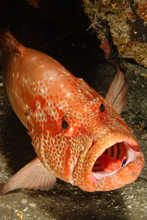 kwazulu natal: The view of a tomato rock cod with its mouth wide open, Kwazulu Natal, South Africa