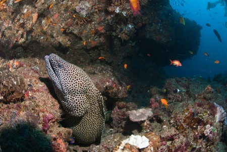 A close up on a honeycomb moray eel swimming along a reef, KwaZulu Natal Stock Photo - 10850313