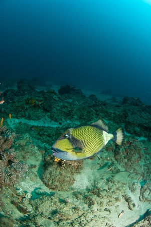 kwazulu natal: The view of a triggerfish swimming along a reef, KwaZulu Natal Stock Photo