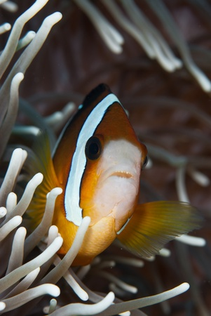 symbiotic: The view of a anemonefish in sea plants, Sulawesi, Indonesia Stock Photo